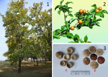 Strychnos nux-vomica L. (1) whole plant, (2) the fruit and (3) the...    Download Scientific Diagram