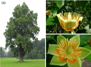 Tulip trees are a popular feature in parks and gardens (a