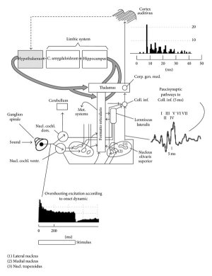 Diagram of the classical auditory pathways from the ear to