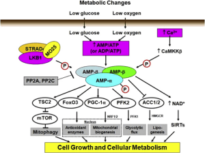 Regulation of AMPK by metabolic stress, LKB1 and intracellular Ca | Download Scientific