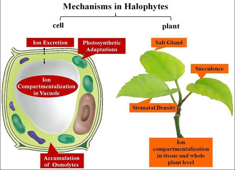 The Mechanisms In Halophytes From Cells To Whole Plant