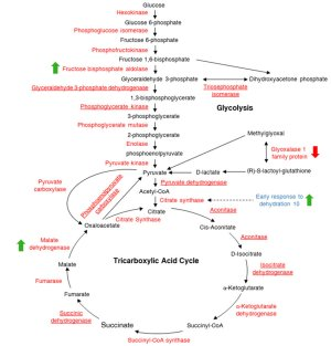 A schematic diagram of the glycolysis and tricarboxylic