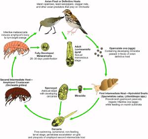 Levinseniella byrdi life cycle Adult L byrdi sexually reproduce   Download Scientific Diagram