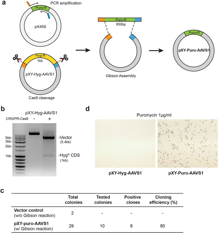 Replacement of antibiotic resistance gene. (a) Cloning