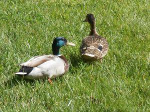 ducks_20120427_317DSCN0956