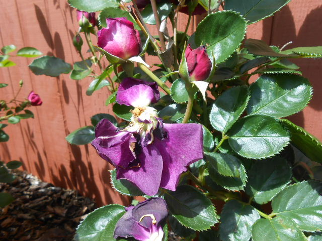 dead and living purple roses