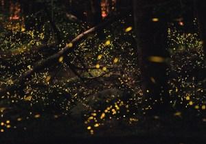 Fireflies Emit Light Similar to Lasers