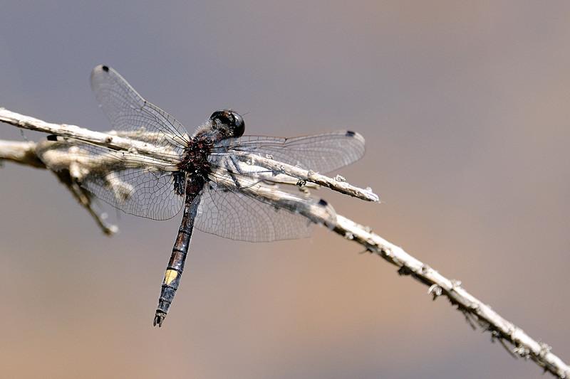 Leucorrhine à gros thorax © A. ANDRE