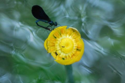 Calopterix vierge (Calopterix virgo) © Didier Renard