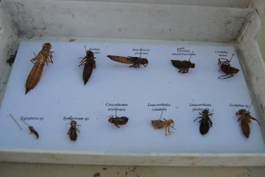 Des exuvies de libellules