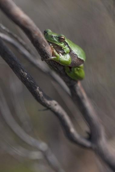 Rainette arboricole © L. Bourdin