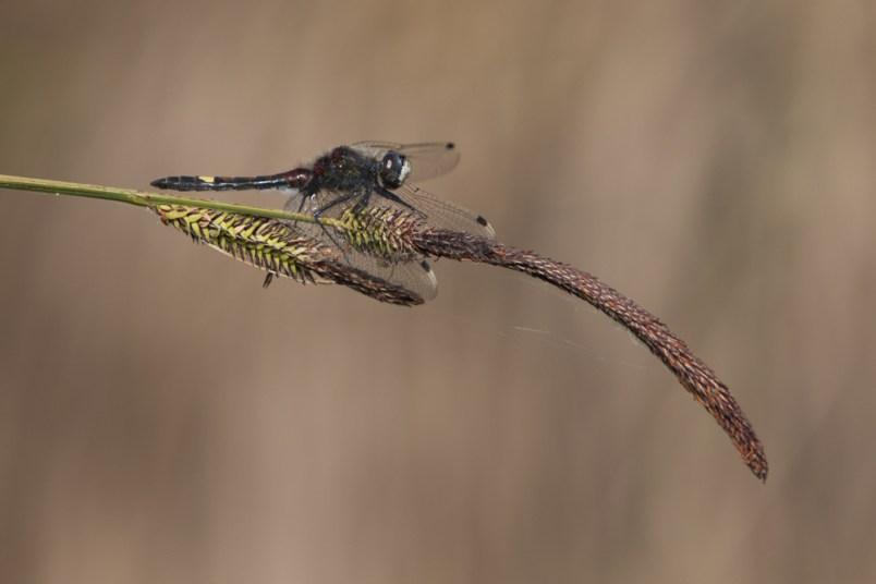 Leucorrhine à gros thorax (Leucorrhinia pectoralis) © L. Bourdin