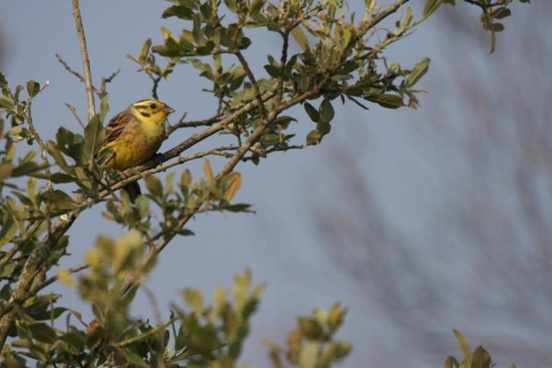 Bruant jaune © L. Bourdin