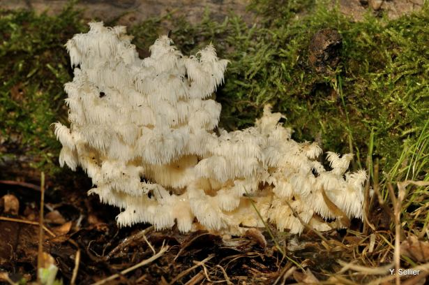 Hericium coralloides © Y. Sellier