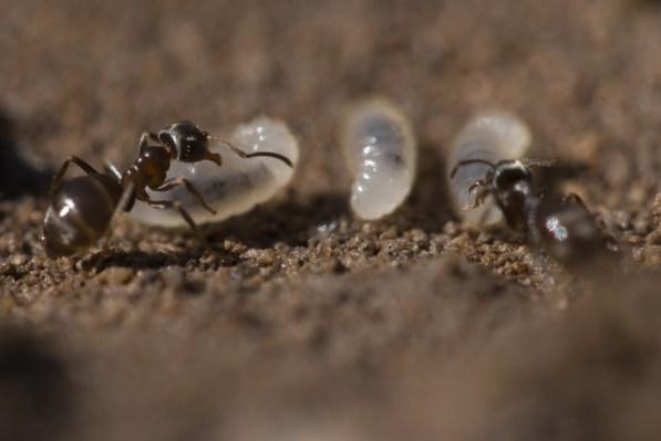 Fourmis et leur larve © J-G Couteau