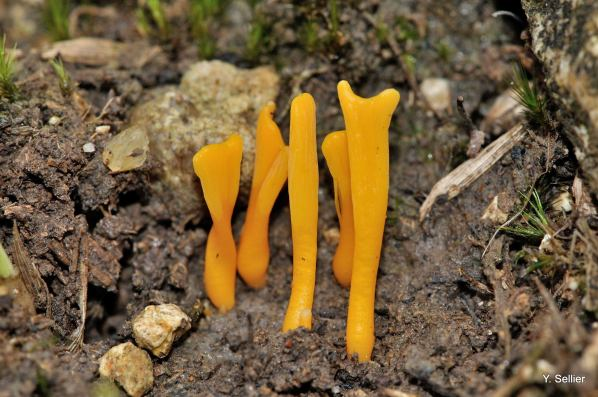 Clavulinopsis luteoalba © Y. Sellier
