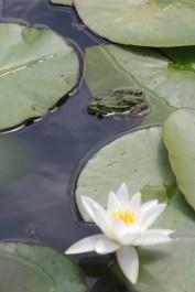 Observer une grenouille verte © K. Lelarge