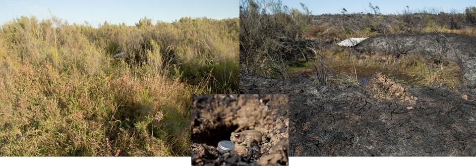 Lande avant et après brûlis où ont été réalisés les relevé thermiques en 2016 (le crapaud est sorti du terrier où a été disposé un thermo-bouton) © Yann Sellier