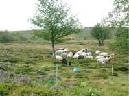 Troupeau de moutons au filet