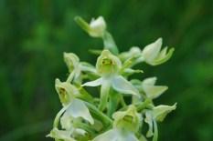 Platanthère (orchidée)