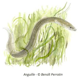 illustration d'anguille - Benoit Perrotin