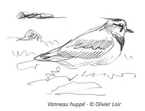 Illustration de vanneau huppé - Olivier Loir