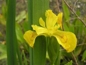 Iris des marais (Iris pseudacorus) © RNN St Denis du Payré