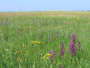 Prairie en fleur © RNN St Denis du Payré