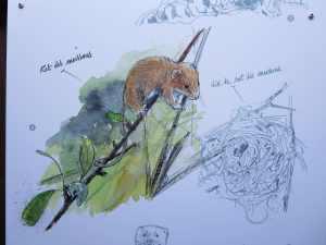 La nouvelle muséographie illustre des espèces souvent peu connues du grand public comme ici le Rat des moissons (Micromys minutus) © RNN St-Denis-du-Payré