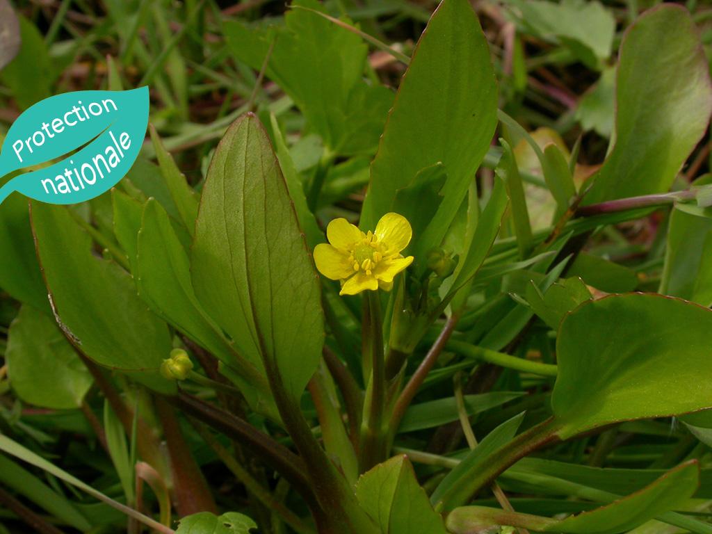 La Renoncule à feuilles d'ophioglosse (Ranunculus ophioglossifolius)