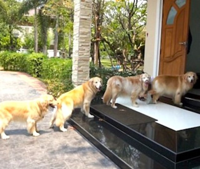 Adorable Golden Retrievers Line Up To Get Their Paws Washed