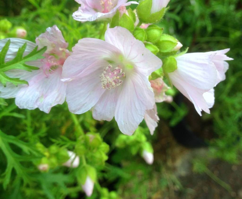 Malva moschata Apple Blossom Res Naturae Lecco