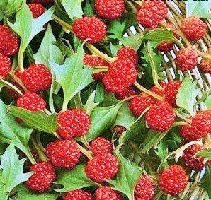 Spinacio fragola, Chenopodium capitatum