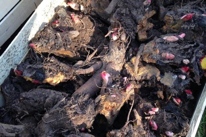 Rabarbaro pianta rizomi