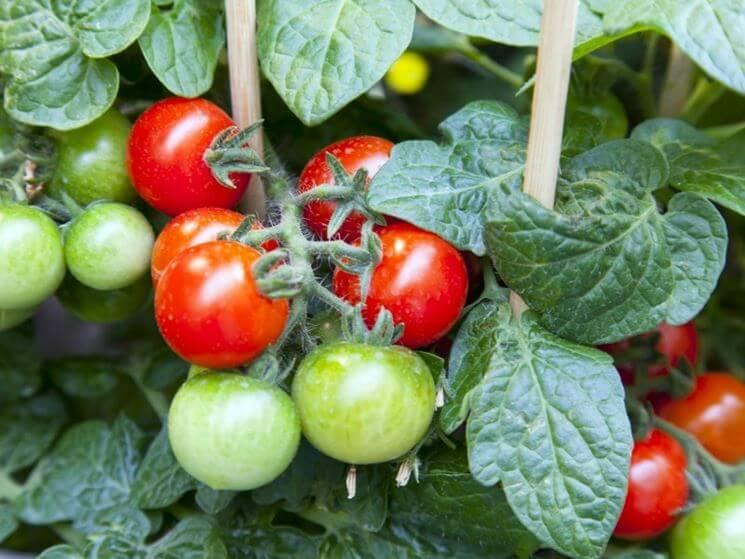 Pomodori nani, mini ortaggi da coltivare in vaso o sul balcone