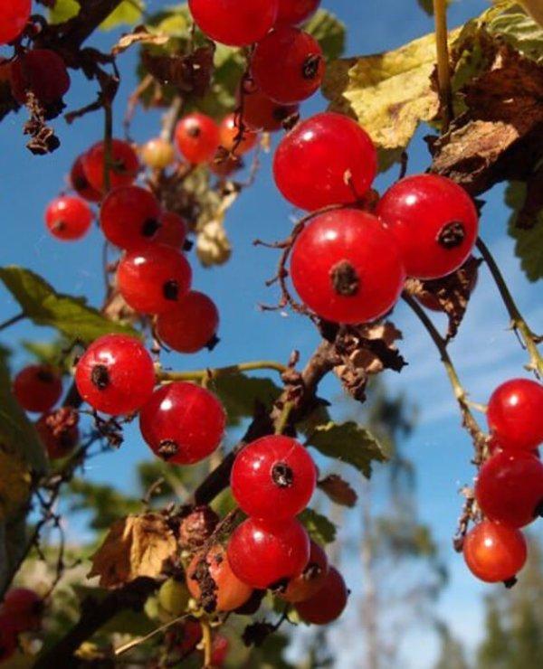Ribes-rosso-medio-precoce-Rovada