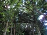フクギ並木⑤