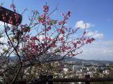 1/28 名護城跡付近の開花状況⑧