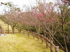 1/28 名護城公園「さくら園」付近の開花状況⑦