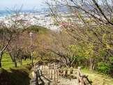 2/4 名護城公園「さくら園」付近の開花状況④