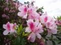 ツツジの花④