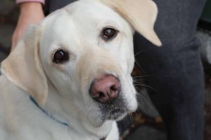 Abigail Shaw's guide dog, Kit