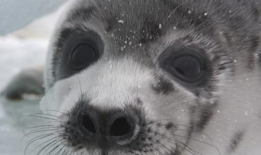 Anger as Norway allows seal hunt with no animal welfare inspectors