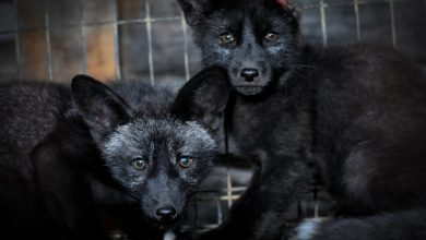 Animal protection organizations worldwide set sights on Prada over use of fur
