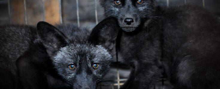 Animal protection organizations worldwide set sights on Prada over use of fur