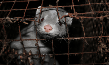 'Plausible' that humans can be infected with coronavirus from fur farmed mink