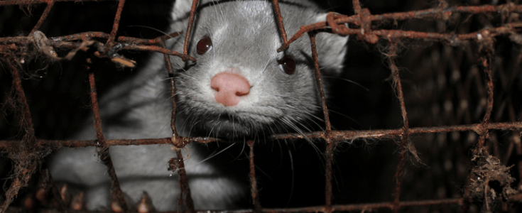 Mink on Dutch fur farm have coronavirus
