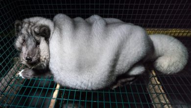 New footage of Finnish fur farm shows horrific obesity in foxes.