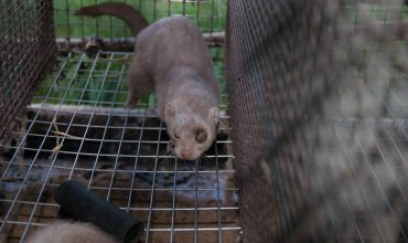 Mink fur factory farm receives $4 MILLION of taxpayers' money and STILL goes bust.