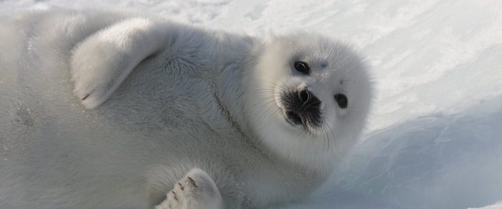 Save The Seals 2018: Boycott Canada